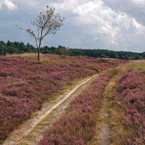 Uitgestrekte heidevelden op het Hijkerveld bij het Hiekerhoes.