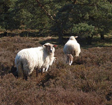 Vanaf de schaapskooi op het Hijkerveld gaan de schapen elke dag de uitgestrekte heide op.